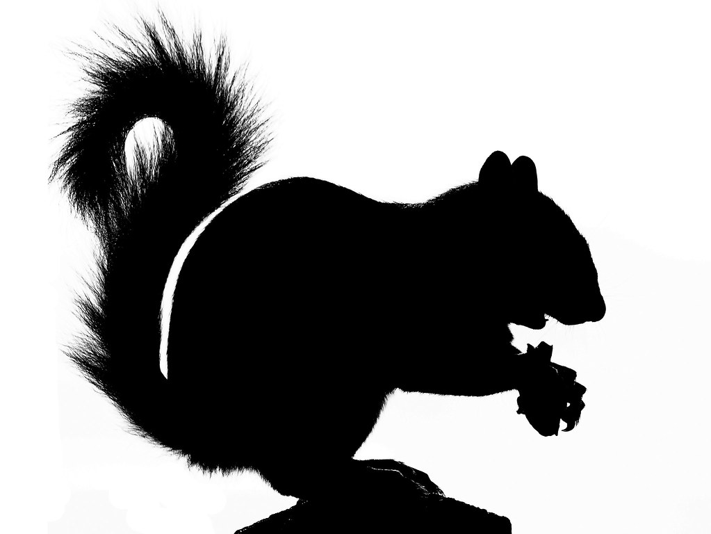 standing scoffing squirrel silhouette  kintired  flickr -