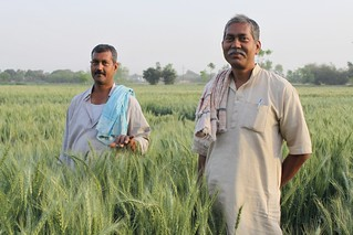 Indian farmers and CSISA partners grow new line for seed production | by CIMMYT