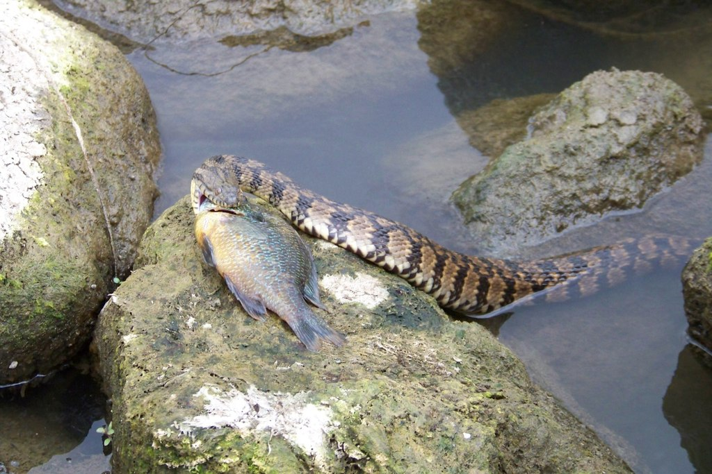 Diamondback Water Snake Eating A Fish Southeast Missouri Flickr