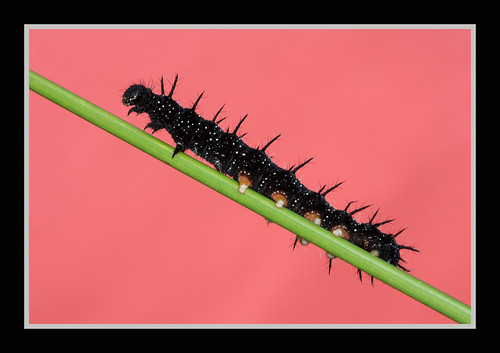 Peacock Caterpillar | by forbesimages