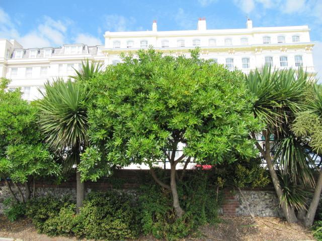 Pittosporum Tobira Tree