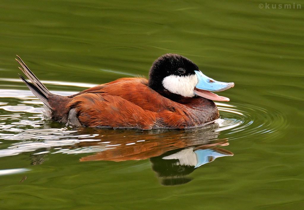 Ruddy Duck Oxyura Jamaicensis Tucson Arizona Usa