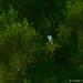 Snowy Egret - HDR