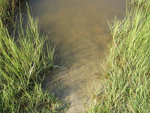 Fiddler crab habitat - photo#22
