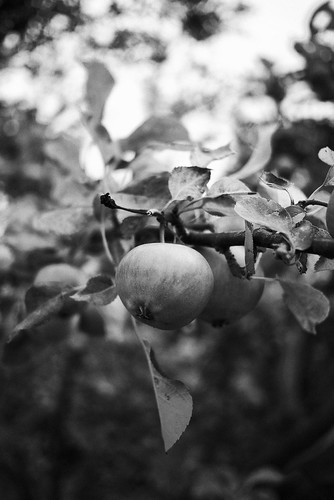 Apple Orchard | by aleckc