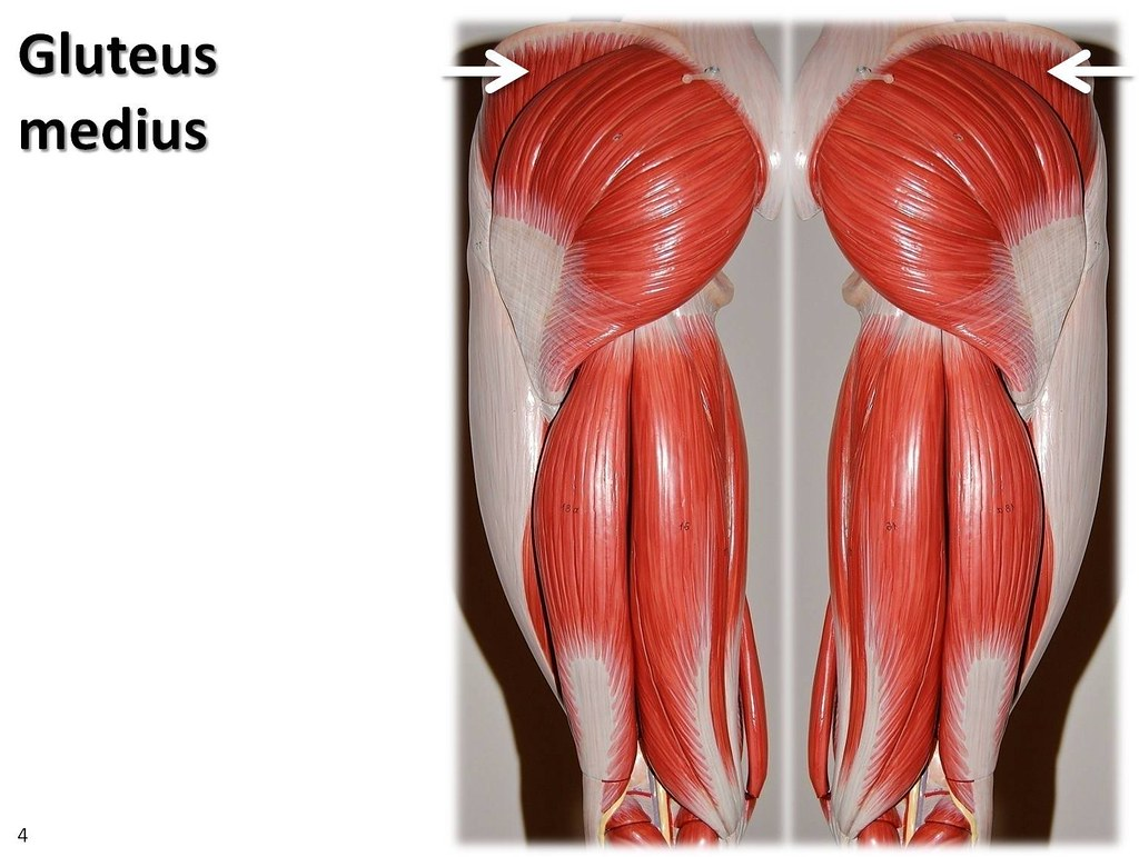 Gluteus medius - Muscles of the Lower Extremity Anatomy Vi… | Flickr