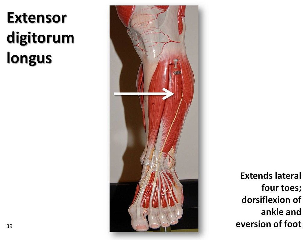 extensor digitorum longus - muscles of the lower extremity… | flickr, Human Body