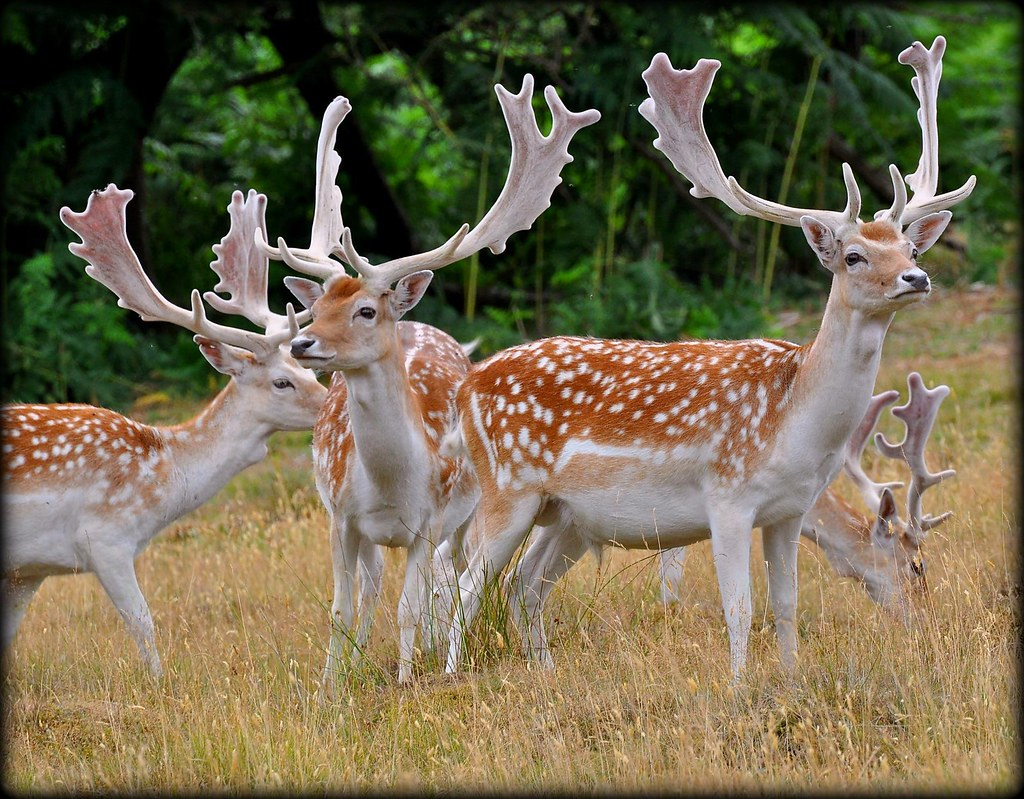 standing proud fallow deer stags fallow stags at knole p flickr
