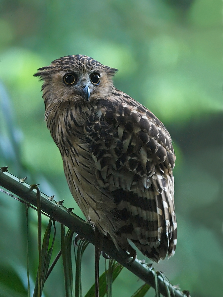 Buffy fish owl lower pierce i think its possibly the for Owl fish clothing