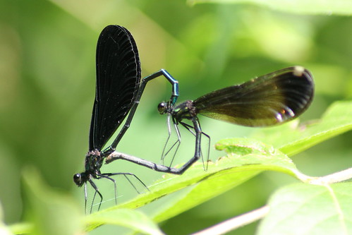 Jewelwing Love | by Mean and Pinchy