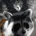 raccoon-o-mogwai-tronic