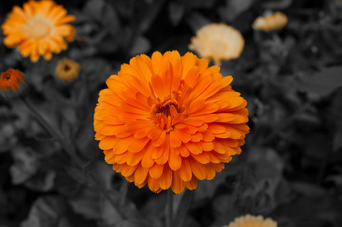 Orange Flower | by julesd_g6