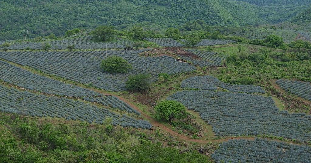 campos de agaves.