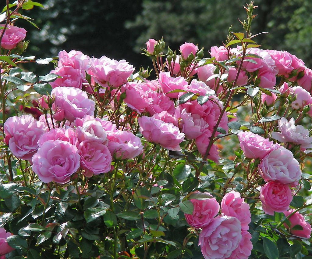 Royal Bonica Shrub Rose Blooms From The Stanley Park