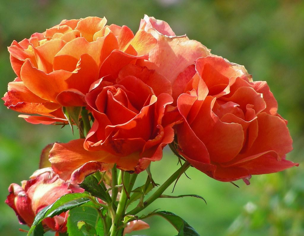 Amazing ... Livinu0027 Easy Floribunda Rose | By Clara Johnson