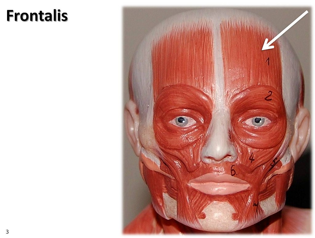 Frontalis Small Model Muscles Of The Upper Extremity Vi Flickr