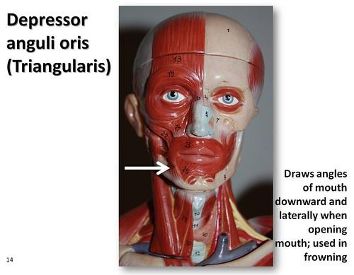 Depressor Anguli Oris