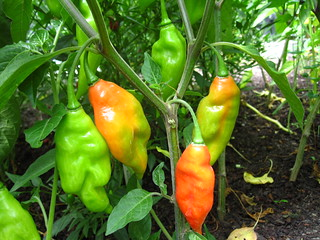 Capsicum chinense | by Brooklyn Botanic Garden