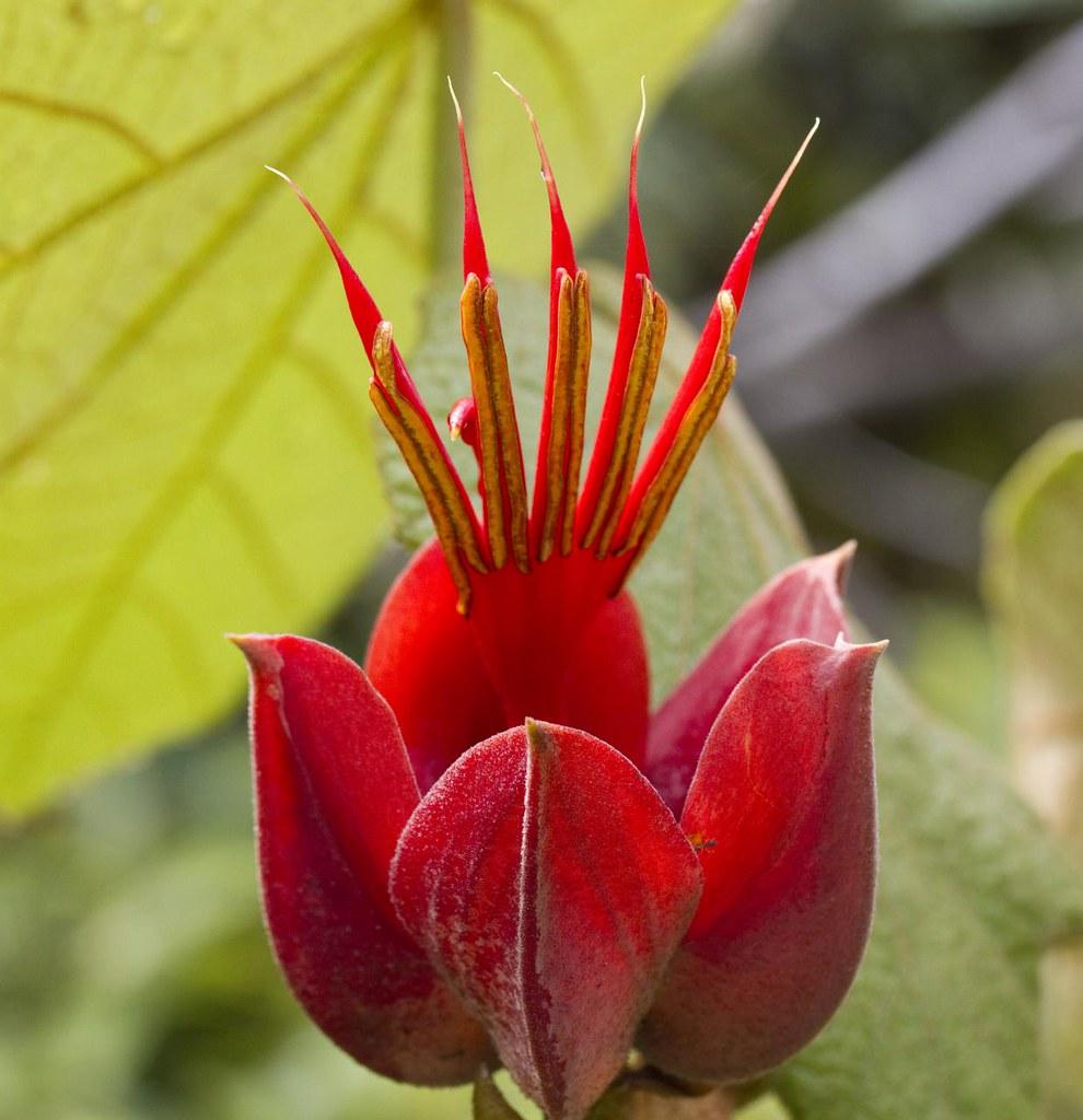 Tacca leontopetaloides  Wikispecies