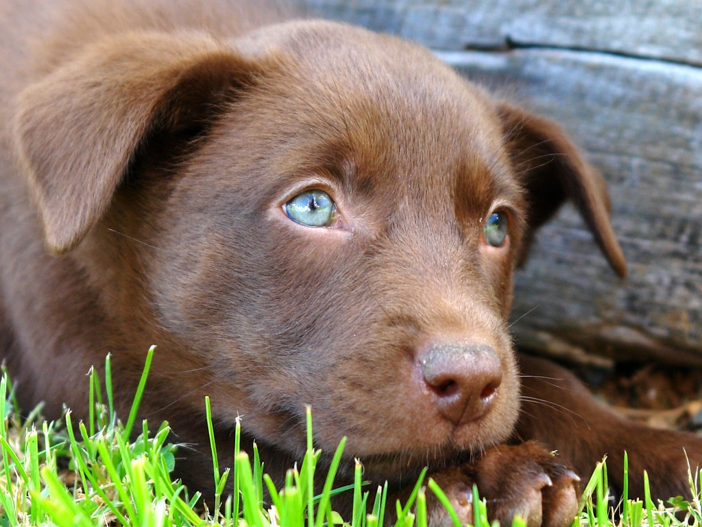 Young Dog Blue Eyes