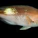 Red Pigfish Bodianus unimaculatus, male