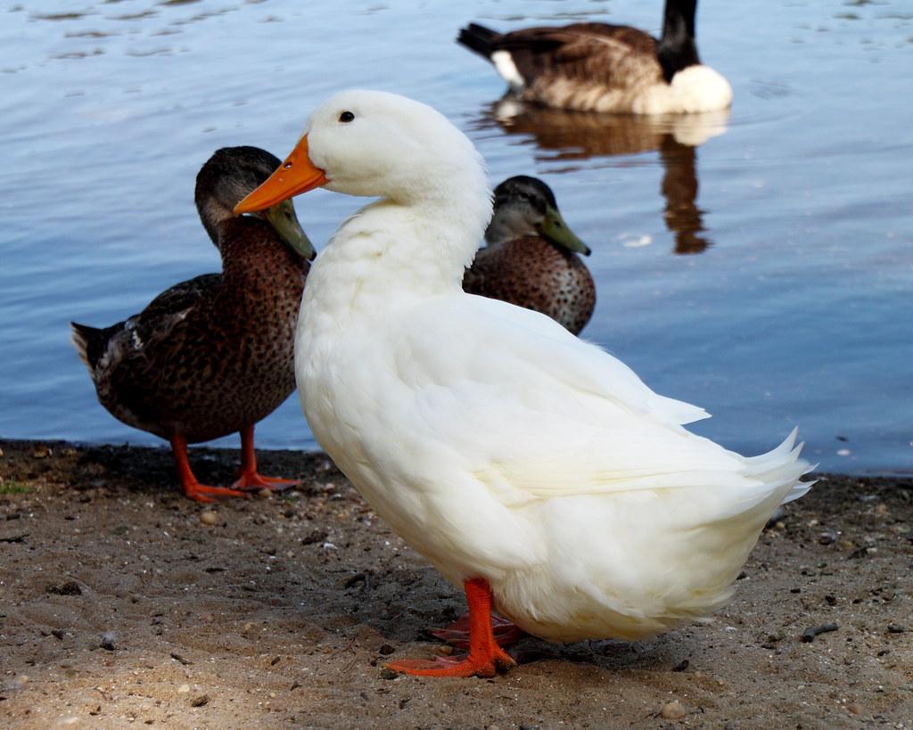 Long Island Peking Duck