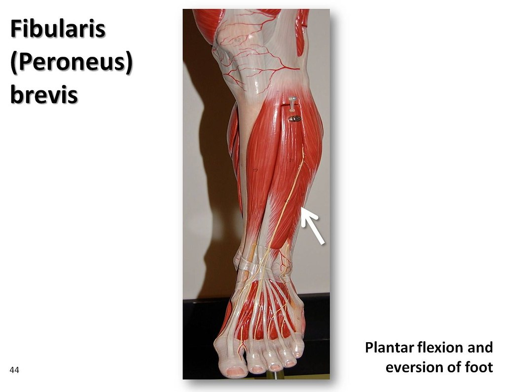 Fibularis brevis - Muscles of the Lower Extremity Anatomy … | Flickr
