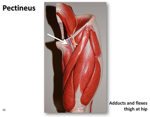 Pectineus Muscles Of The Lower Extremity Anatomy Visual