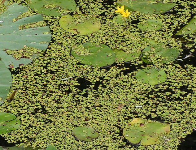 Duckweed in a pond miao miao miao flickr for Garden pool duckweed