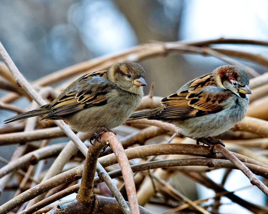 Male And Female House Sparrows  House Sparrow Nests Are -7626