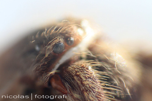 rain spider huntsman spider eyes 4 | by Nicolasfotografi