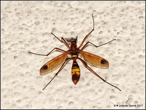 kammschnake ctenophora ornata m nnchen flickr. Black Bedroom Furniture Sets. Home Design Ideas