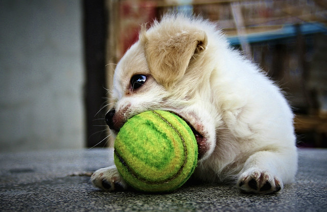 dog playing tennis