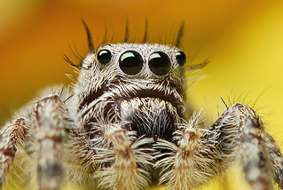 Immature Phidippus sp. | by Sam Martin (abikeOdyssey)