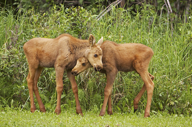 Cute moose calf - photo#20