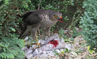 Sparrowhawk Eating A Dove | by Dan Belton ( No Badger Cull )