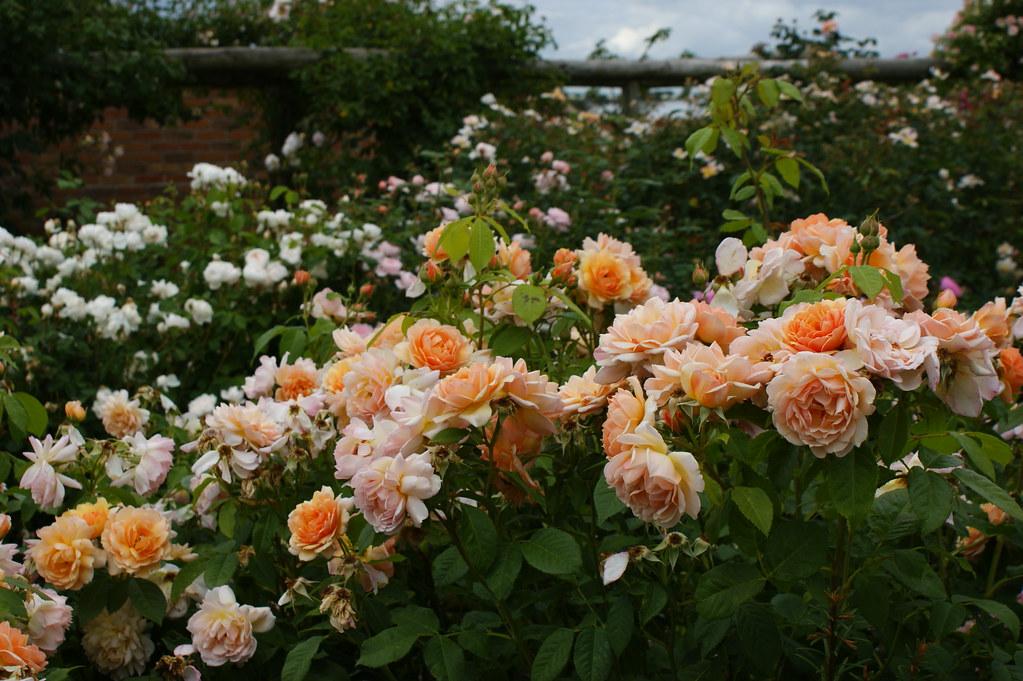 Садовые розы купить дешево в москве