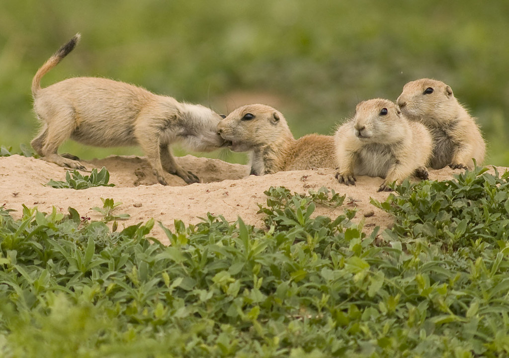 Affectionate pups prairie dogs greet one another and show flickr affectionate pups by usfws mountain prairie m4hsunfo