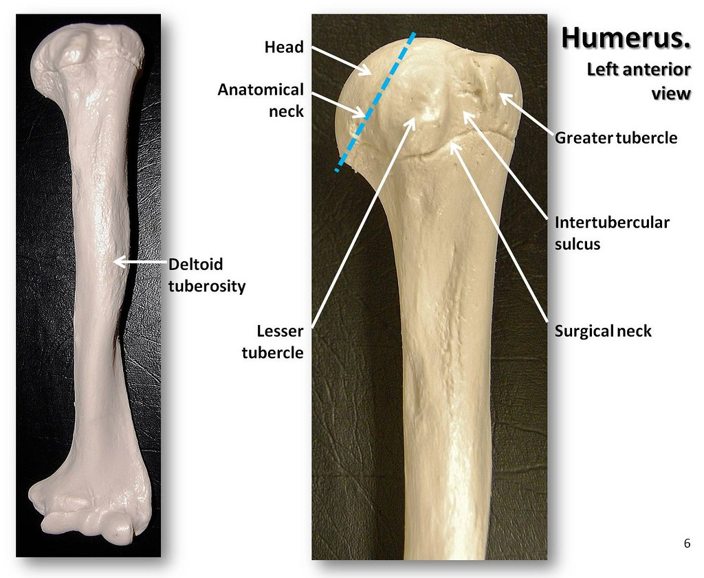 Humerus, anterior view with labels - Appendicular Skeleton… | Flickr