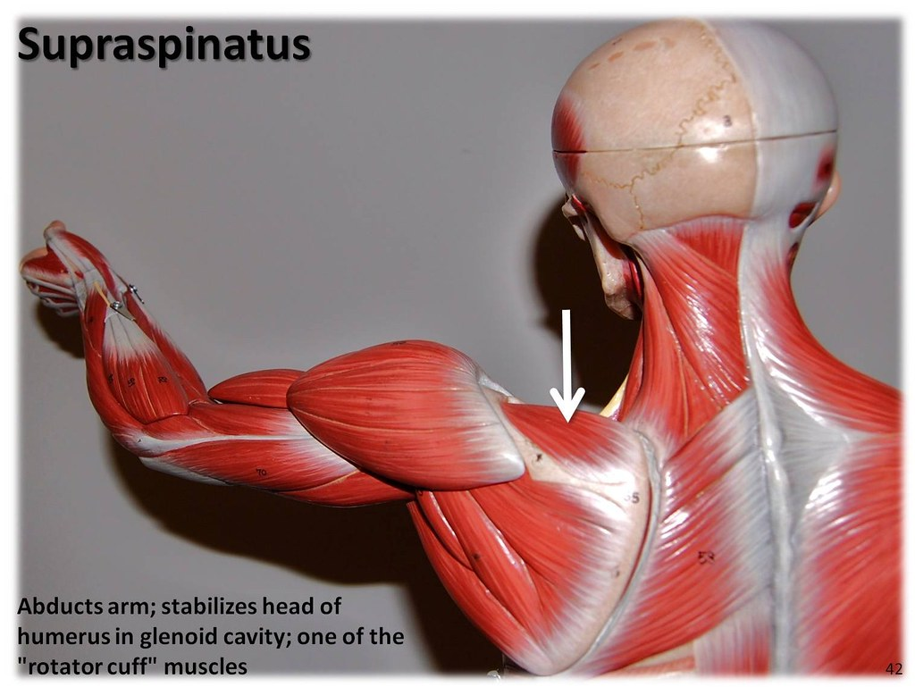 Supraspinatus Muscles Of The Upper Extremity Visual Atla Flickr