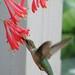 Humming Bird 05