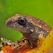 SAPITO FROG CLOSE UP