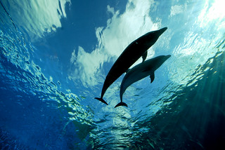 Deep Blue Dolphin Love | by Follow Your Nose