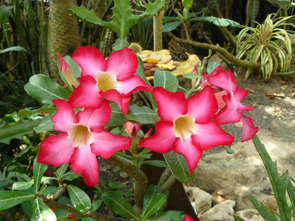 Desert Rose Adenium Obesum The Desert Rose Adenium