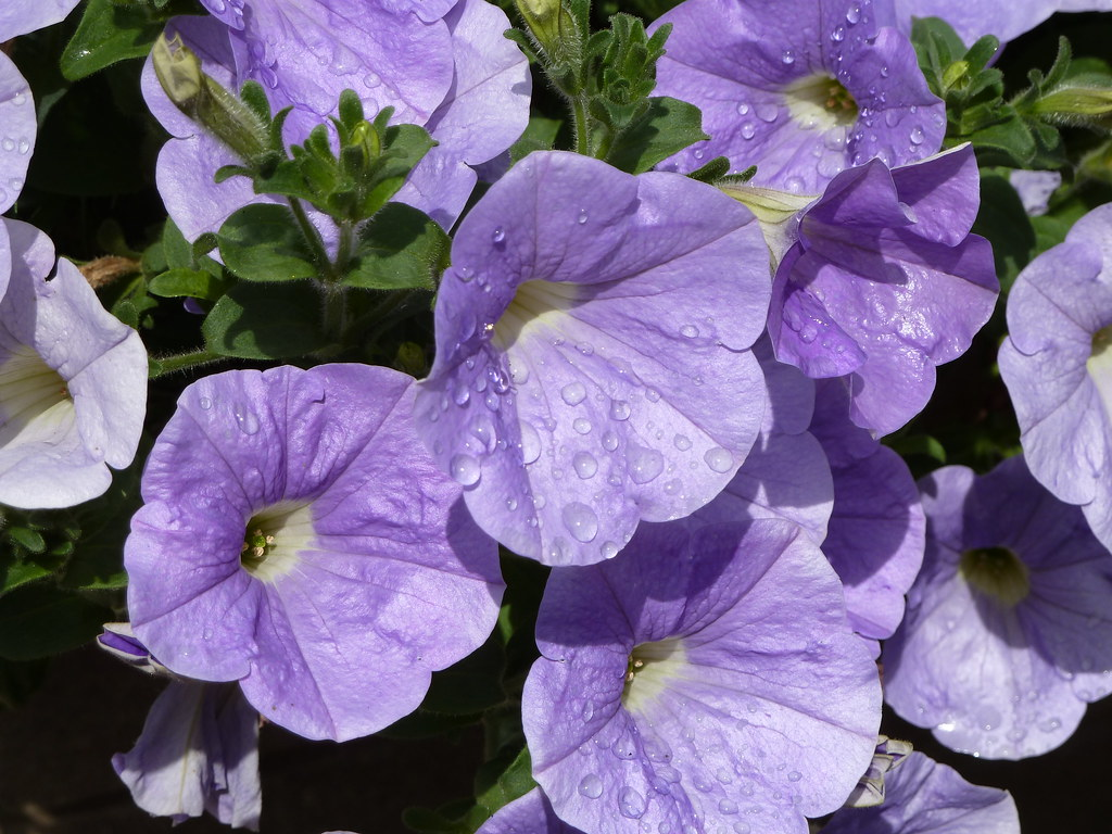 Raindrops on Petunia  A sudden sunshower did nothing to dim…  Flickr # Sunshower Blue_021322
