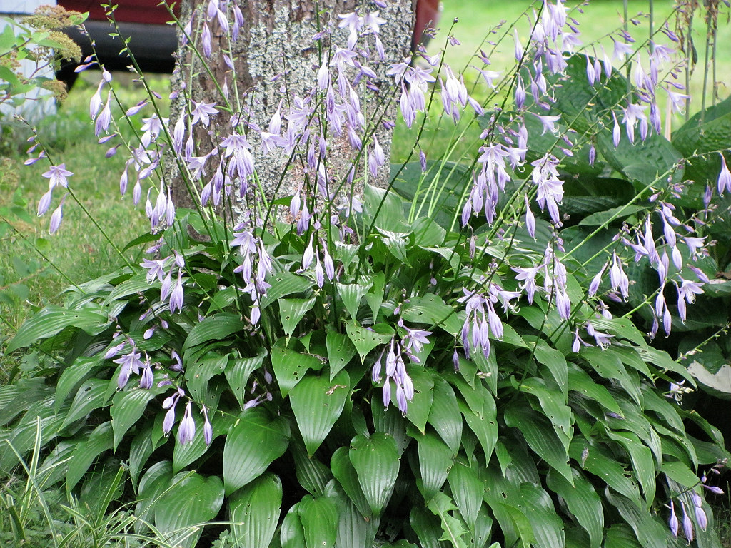 Lancifolia Hosta Blooming