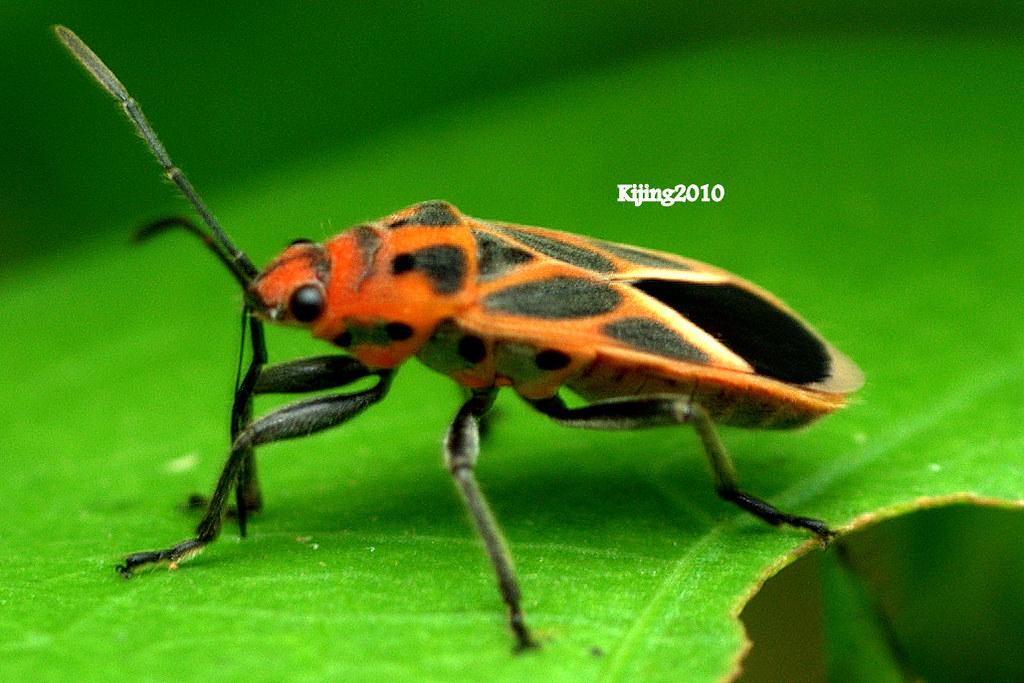 orange and black spot bug kerapu flickr. Black Bedroom Furniture Sets. Home Design Ideas