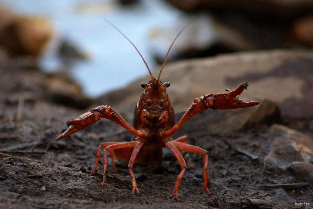 Resultado de imagen de cangrejo de rio americano en el rio