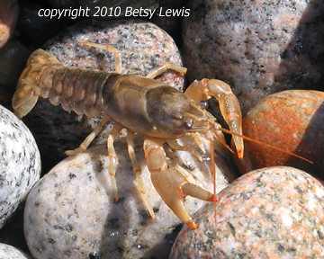 Red-tipped Crayfish | by Eye See 360