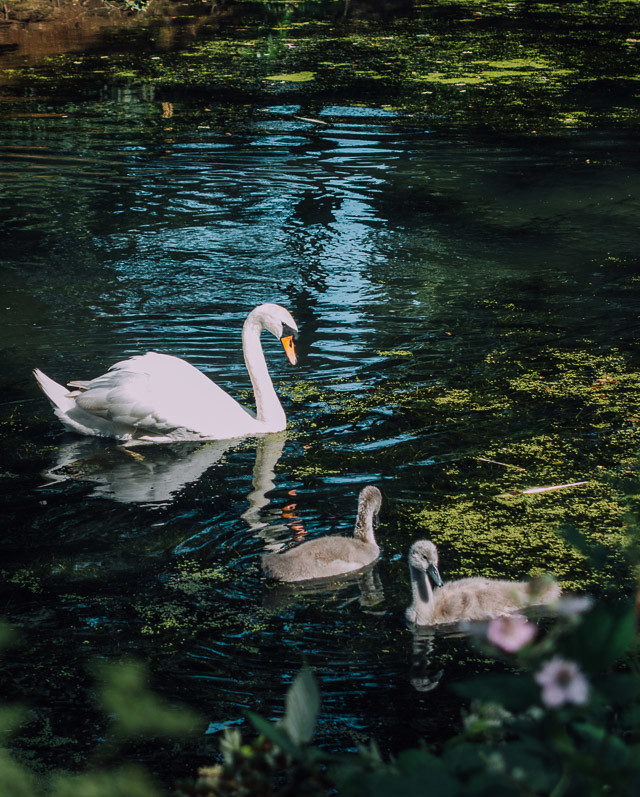 swan and cygnets at roath park
